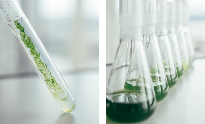 Production of Algae